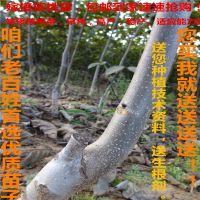 供应薄壳纸皮8518核桃树苗 嫁接香玲核桃苗 薄壳易碎果大产量高