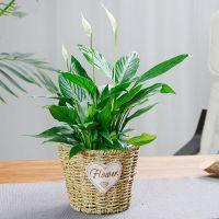 武汉盆栽出租盆景租摆花卉租赁,武汉植物养护绿植维护苗木出售