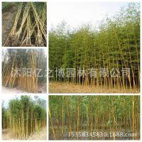 出售庭院绿化用竹子金镶玉竹苗 金镶玉竹 可盆栽庭院青竹量大从优
