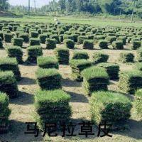 马尼拉草坪/沟叶结缕草/耐践踏/耐修剪