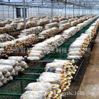 批发优质高产红灵芝菌种 赤灵芝菌种 菌棒菌苗 山东灵芝种植基地
