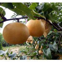优质梨苗成苗基地供应