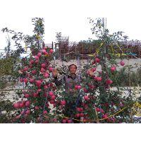 矮化苹果苗的优点及m9t337矮化自根砧的培育种植方法