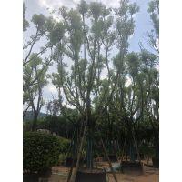 成都大量供应各规格香樟树,优质熟货价低