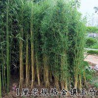 紫竹青竹金镶玉竹毛竹庭院竹子庭院围墙植物盆栽地栽