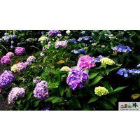 八仙花价格 绣球花价格 无尽夏价格 灌木品种