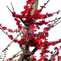 批发庭院绿化多种梅花树苗  乌梅花苗 红梅苗 盆栽造型梅花桩