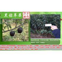 黑钻苹果苗批发 自己苗圃黑钻苹果树苗 便宜黑钻苹果苗