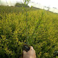 绿化工程花园用金叶女贞护栏植物 小区绿化扦插 道路绿植