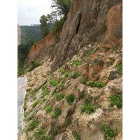 云南玉溪铁路边坡绿化植草常用护坡草种供应直销