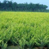 大量供应绿化苗木 金叶女贞  金叶女贞种植基地