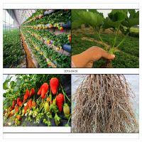 大棚草莓苗基地批发 全明星 奶油草莓苗 章姬 草莓苗品种