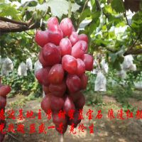 浪漫红颜葡萄苗品种怎么样?浪漫红颜葡萄苗2019年春季价格