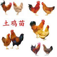 育种孵化场供应哪里有土鸡苗卖,厂家批发哪里有土鸡苗卖价格价格优惠,全国运输成活率高长速快