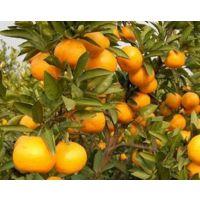 脆蜜金柑的市场行情怎么样-梧州哪里有脆蜜金柑苗卖贺州脆蜜金柑苗价格多少钱一棵