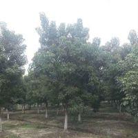 成都优质批发重阳木 绿化工程苗