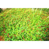 山东青州丽都花卉蛇莓多少钱蛇莓产地欢迎选购