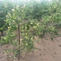 枣树苗哪里有卖 1--5公分嫁接枣树苗供应 山东沾化冬枣枣树苗价格