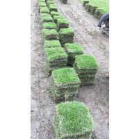 供应大量草皮 各种品种都有 混播 台湾二号 百慕大 剪股颖等