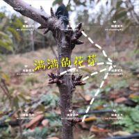 泰安瑞康苗木供应 1.5公分美早樱桃苗 一级樱桃树苗