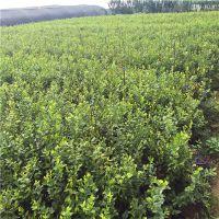 蓝莓树苗价钱 批发蓝莓苗价格 价格优惠