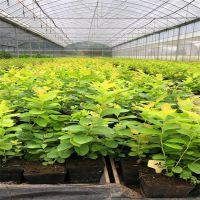蓝莓种苗哪里有 批发蓝莓苗价格 欢迎选购