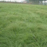 批发供应 包衣狗牙根 猫尾草 野花组合 景观园林种子 质量保证