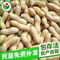 高油酸大花生种子 高产稳产高发芽花生种子 优质花生原种子批发