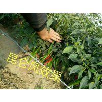 辣椒增产防病用什么药好 辣椒亩增产300斤
