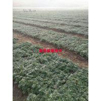 中华一号金莲花苗种植技术