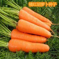 家庭蔬菜种子 特级橘红胡萝卜种子大包装10克左右 量大批发