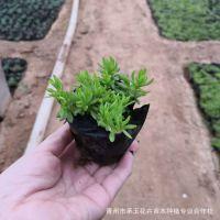 山东花卉种植基地大量供应优质佛甲草 草坪绿化佛甲草 量大从优