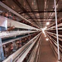 生产肉鸡笼养殖设备, 蛋鸡笼安装教程 安装视频 盟鹏鸡笼厂