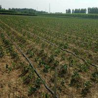 大量批发菠萝草莓苗 草莓苗基地