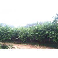 供应泸州云南贵州重庆宫粉紫荆