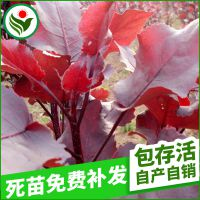 长期供应 速生世纪杨树苗 高大彩叶树种全红杨种苗供特种苗