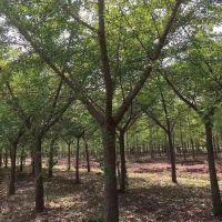 8公分白果树价格 12公分白果树 德祥银杏 白果树