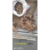 玄参种苗优质技术免费 玄参包回收签合同