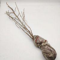 小果沙棘树苗一年生原床苗40公分 成活率高