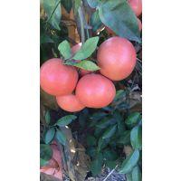 红宝石葡萄柚苗哪里有卖,(三红葡萄柚苗)多少钱一棵