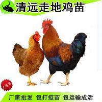 鸡孵化场广东清远走地鸡苗批发多少钱一只 鸡苗价格养殖技术指导服务统货高成活率包打疫苗