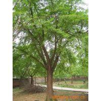 产地直销现挖嫁接银杏树规格齐全批发各种规格白果树树苗成活率高