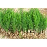 芦笋生长需要什么样的土壤条件