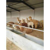要买纯种的羊驼 羊驼幼崽到山东找仙农养殖场