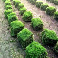 马尼拉草坪 湖北武汉别墅绿化用的台湾草批发价格 哪里有卖
