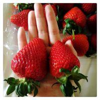 草莓苗多少钱一棵 哪里有草莓苗出售 草莓苗基地批发