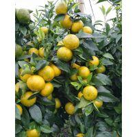柑橘喷施什么叶面肥果多颜色好 二氢钾水溶肥效果好