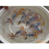 批发水泡 金鱼 蓝花水泡 淡水鱼观赏鱼养殖基地直供