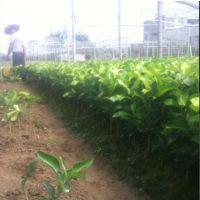 优质三红蜜柚苗哪里买 三红蜜柚苗种植技术哪家强