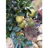 哪里有卖正宗泰国青柚苗 泰国青柚苗种植基地在哪里
